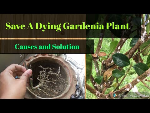 Save A Dying Gardenia Plant How To Recover A Gandhraj Plant A Bad News Youtube,What Colors Go With Light Green Paint