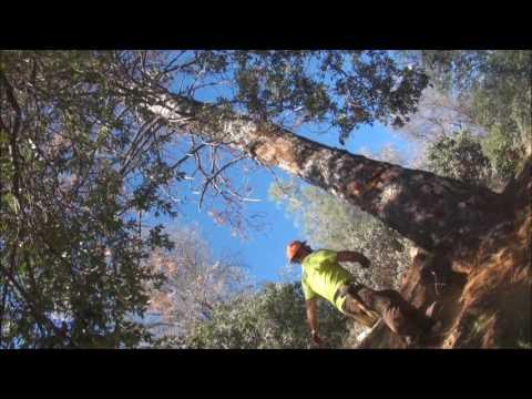 Pine Tree Mortality Fall 11 15 16