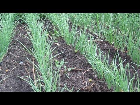 Вопрос: Какой лук лучше посадить – севок или семейный (шалот)?