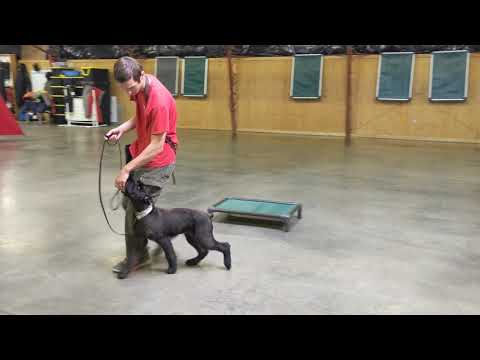 "Giant Schnauzer Training W/""Thyme"" 5 Mo's BAB Participant W/Protection Dog Sales"