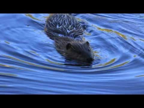 Yellowstone NP June 2016 part 2 Wildlife