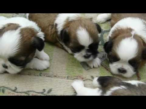 Shih Tzu Puppies For Sale N Ga Fl Al Tn Sc Nc Atl Jax Birmingham