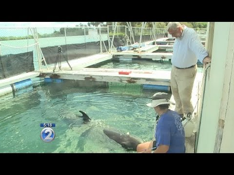 False killer whale helps scientists study hearing, echolocation