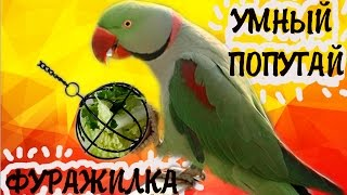 видео Ожереловый александрийский попугай, или большой попугай