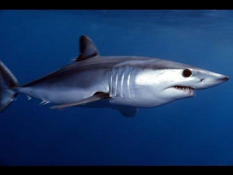 Facts: The Mako Shark