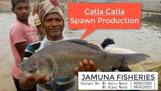 Catla Fish [ Catla catla ] Spawn Production  [ JAMUNA FISHERY in Ramsagar, West Bengal ,India]