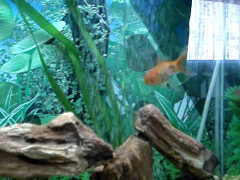 Acuario 100 litros peces de agua fria youtube for Peces ornamentales agua fria