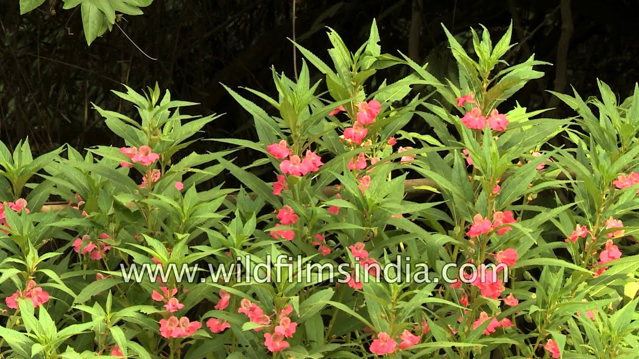 Indian Monsoon Flowers Impatiens Balsam Ratti Jasmine And
