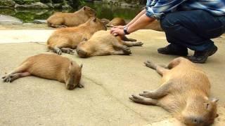 カピバラを連続ヘブン状態に (Scratching many capybaras) thumbnail