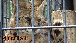 サーバルちゃん😻美しすぎるプロポーション 【羽村市動物公園】 thumbnail