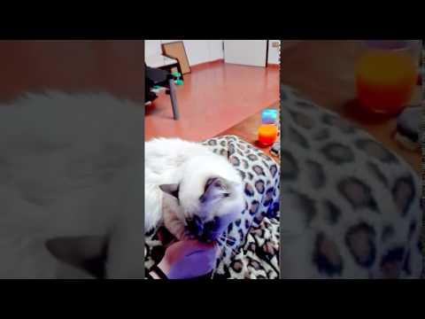 Birman cat not want brush