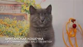 Британская кошечка. Продажа британских котят. Питомник Арлетта Бритиш