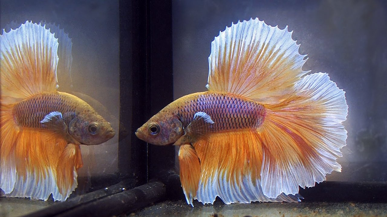 News of Betta and other Labyrinth Fish at the European Anabantoid Club ...