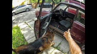 работа собаки по запаху - поиск вещи (начало)