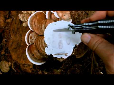 Wildwood Ways: Ganoderma applanatum