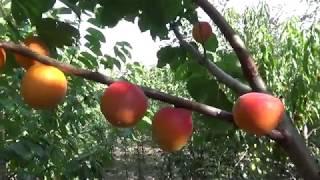 абрикос Харогем. Канадские сорта абрикоса. Видеообзор. Сортоман Сад. Отзывы