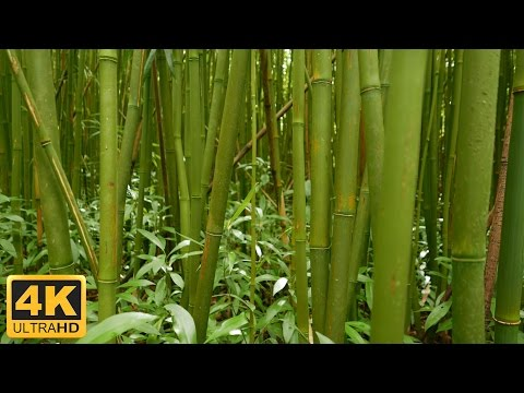 Relaxation Nature 1 Hour- Crackling Bamboo Forest and Rustling Leaves White Noise