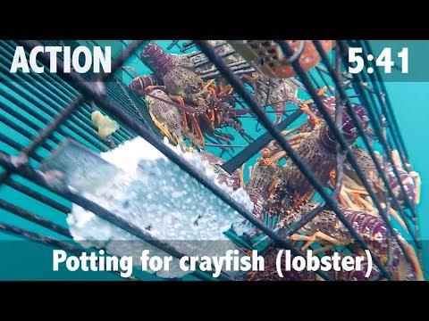 Potting Crayfish In Kaikoura New Zealand