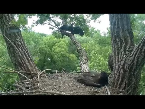 Decorah Eagles- A Sky Walk- More Branching-And A Hover