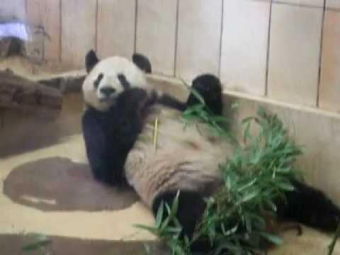 Brat panda jede bambus - Comrade panda eating bamboo - Kamerad panda essen bambus