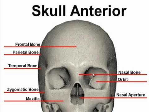 Anterior Bone Landmarks Skull Youtube