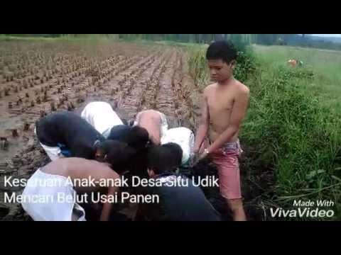 Blogger Desa -  Serunya Mencari Belut di Desa Situ Udik Usai Panen