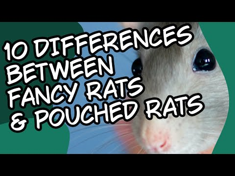 Top 10 Differences, Fancy Rats And Pouched Rats Gambian Pouched Rat