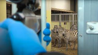 Behandeling zebra | Burgers' Zoo Natuurlijk | Arnhem