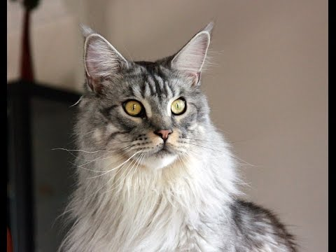 FASTON maine coon 2 ans