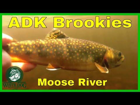 Adirondack Brook Trout - Fly Fishing - Moose River