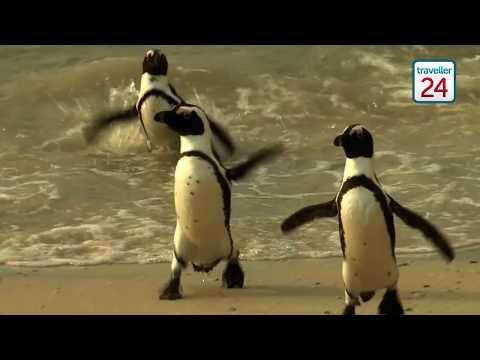 #WildlifeWednesday: African Penguin