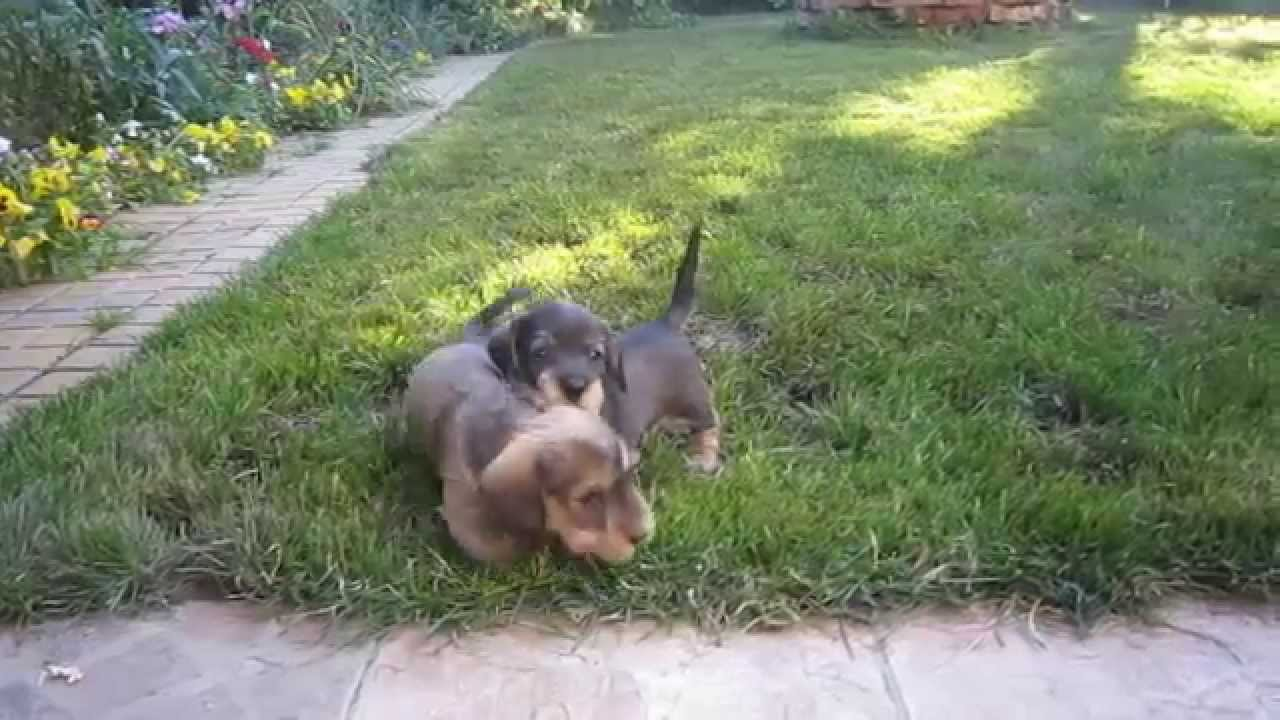 Champion Miniature Wire-haired dachshund puppies for sale - YouTube
