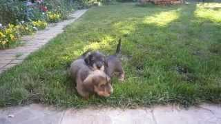 Champion Miniature Wire-haired Dachshund Puppies For Sale