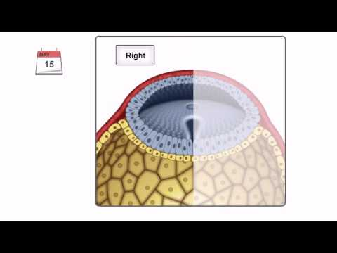 General Embryology - Detailed Animation On Gastrulation