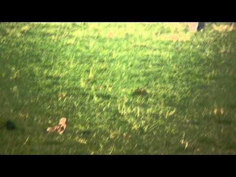 Short-eared Owl At Frodsham Marsh