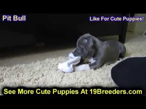 Pitbull, Puppies, Dogs, For Sale, In Charleston, West Virginia, WV, 19Breeders, Parkersburg