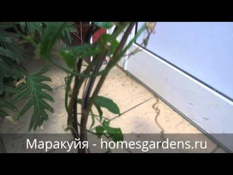 Растение маракуйя - «Вырастить дома маракуйю несложно