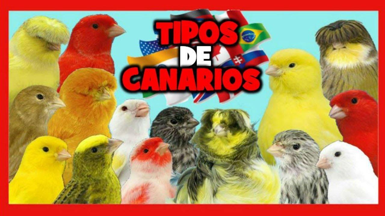 Que Tipos De Canarios Crian Mejor Canarios Más Fáciles De Criar Cria De Canarios Youtube