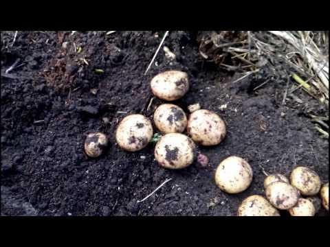 """Картофель ранний """"Жуковский"""". Урожай на 15 июля 2017 года."""