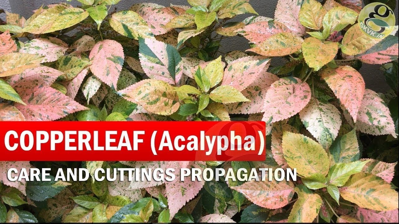 Copperleaf Plant Care Acalypha Wilkesiana How To Grow Khalifa