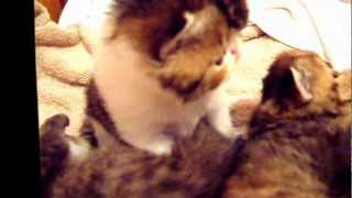 ZIAKATZ BABY BROWN PATCHED TABBY SHOW QUALITY MALE KITTEN-2.5 WEEKS