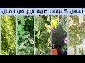 أفضل 5 نباتات طبية و عطرية تزرع في المنزل بسهولة