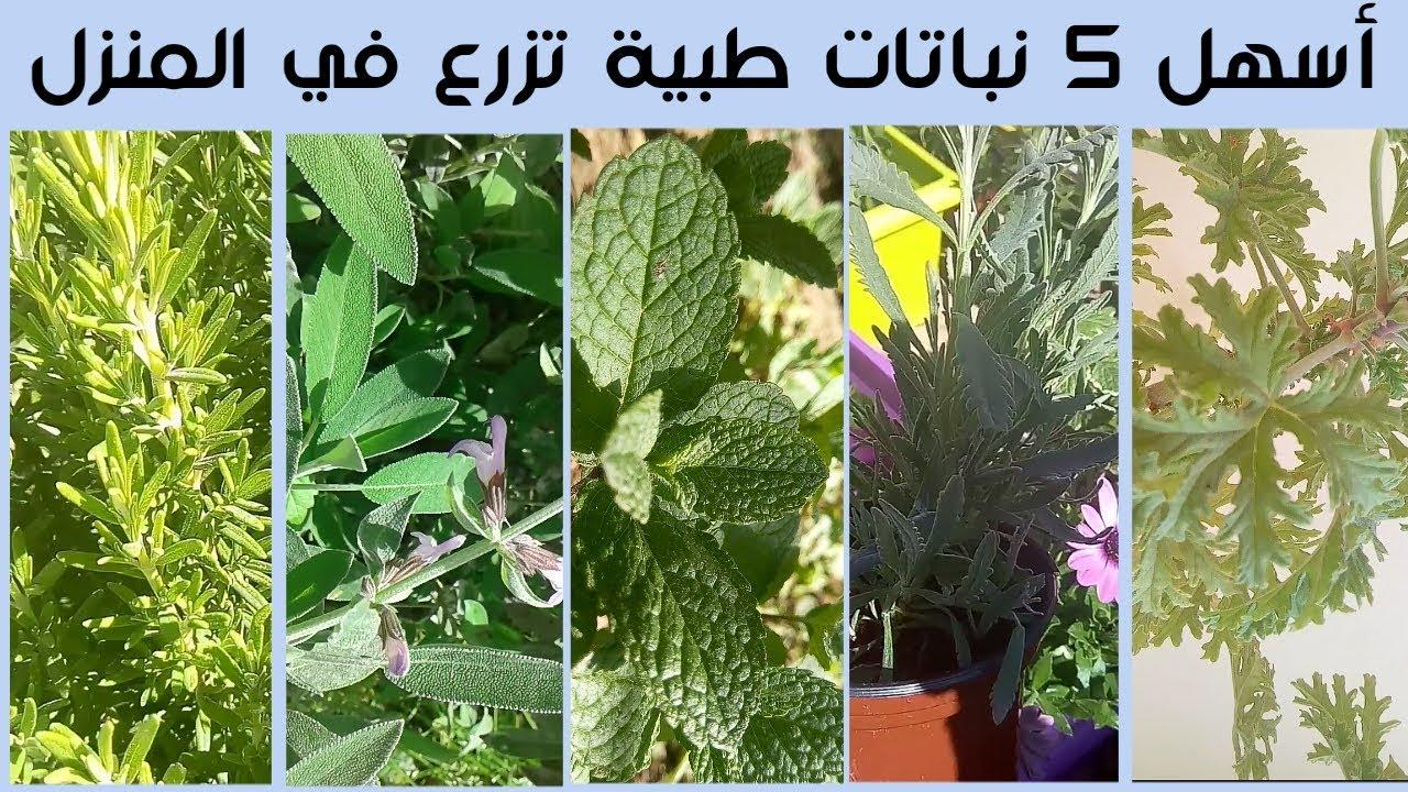 أفضل 5 نباتات طبية و عطرية تزرع في المنزل بسهولة Youtube