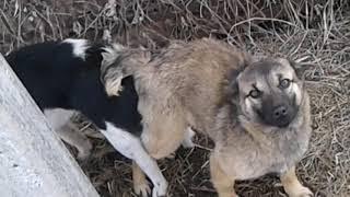Спаривание  трио )))случка собак)