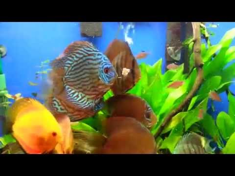 Discus Eating Freeze Dried Tubifex