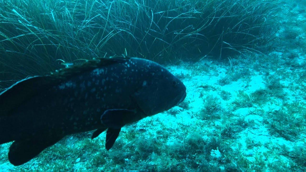 Plongeeocom Mérous Pendant Une Plongée Sous Marine Sur Les Medes