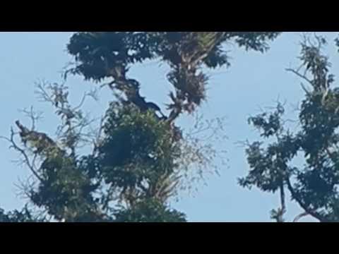 waw......rangkong di pohon tinggi kutacane aceh