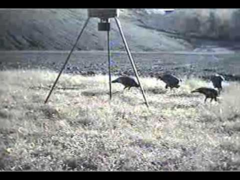 Broadcasting Live!  Flock Of Turkey in Field Cam! Whats In Y