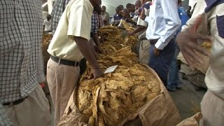 Zimbabwe's annual tobacco-selling season begins