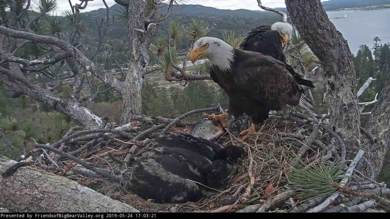 Big Bear Bald Eagle Nest Cam - Shadow Lands a Perfect 10 ...